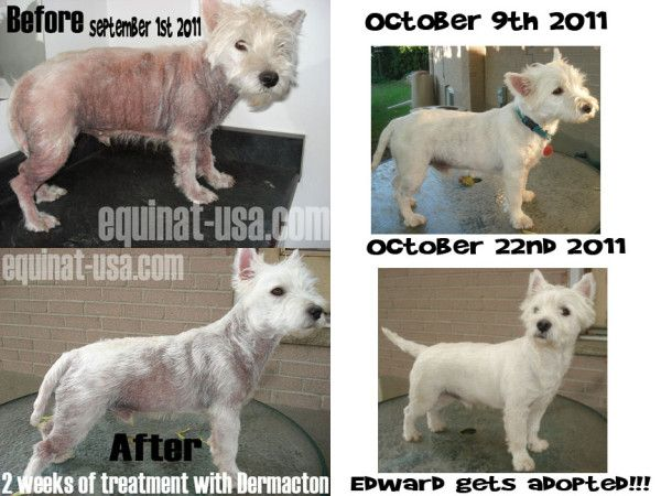 Westies in Need, Westie Rescue can not thank you enough for your wonderful products. We have been using the Dermacton cream and the Dermacton Shampoo Bar on one of our little rescues, Edward, for about 3 weeks now and we can not believe the difference the cream and shampoo has made.