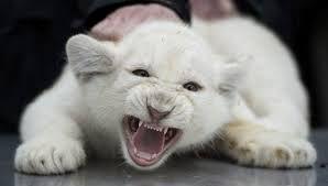 leon blanco cachorro - Buscar con Google