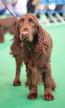 Field Spaniel - taller and more refined in build than the Sussex spaniel