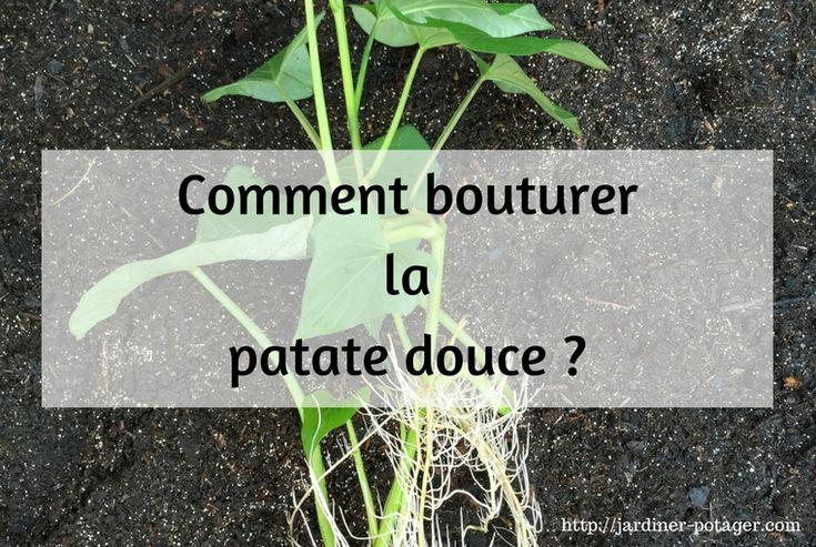 Les 20 meilleures id es de la cat gorie plante de patate douce sur pinterest culture des - Technique culture patate douce ...