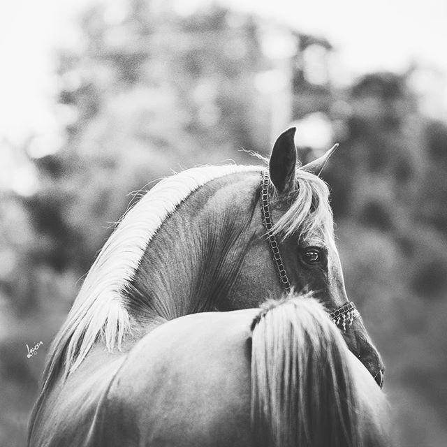 ❤️ #arabriks #arabisktfullblod #arabhästutställning #pferdeschoenheiten #europaspferde #bestofequines #youandyourhorse #featuremesophie #equup #hästfotograf #arabhäst #pferde #arabriks2016 #pferd