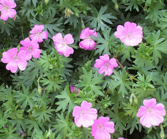 Cranesbill Geranium. Hardy, perennial geraniums differ greatly from the annual flower with the same name. The single-petal flowers of perennial geranium stay in bloom a long time so they're a big asset in perennial borders. Small varieties reach just 6 inches tall, while larger types can grow to 4 feet. Perennial geraniums are generally drought tolerant and very easy to care for. Plants form a nice mound making them ideal bed edgers. Zones: 5-9