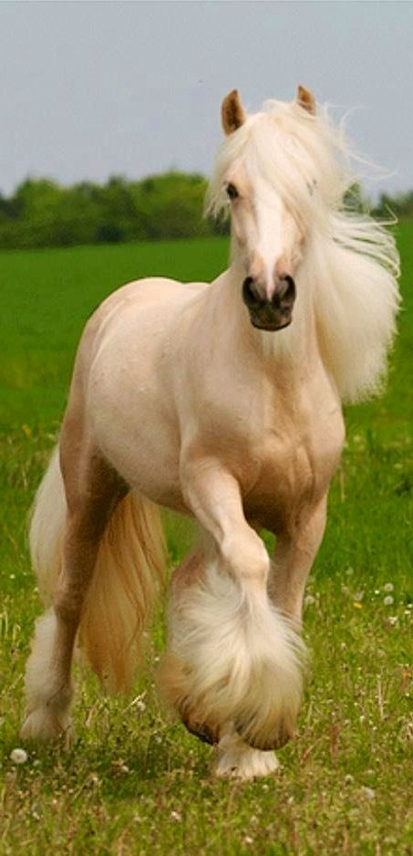 Equine - A gorgeous Palomino Gypsy Vanner.