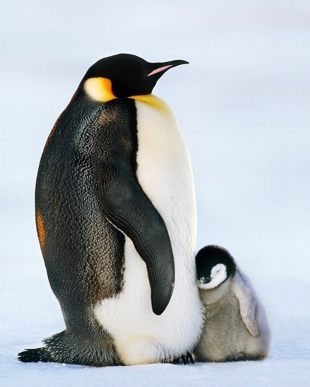 @FransLanting  A young emperor penguin chick snuggles against its parent on the frozen ice around Antarctica.
