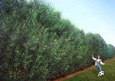 The Fastest-Growing Privacy Tree  - The Willow Hybrid is becoming one of the most popular privacy trees in recent memory. They were bred to quickly form a dense wall that blocks out neighbors, noise or construction.  • Fastest growing privacy tree- up to 10 ft. a year! • Disease- resistant... tolerant of a variety of...