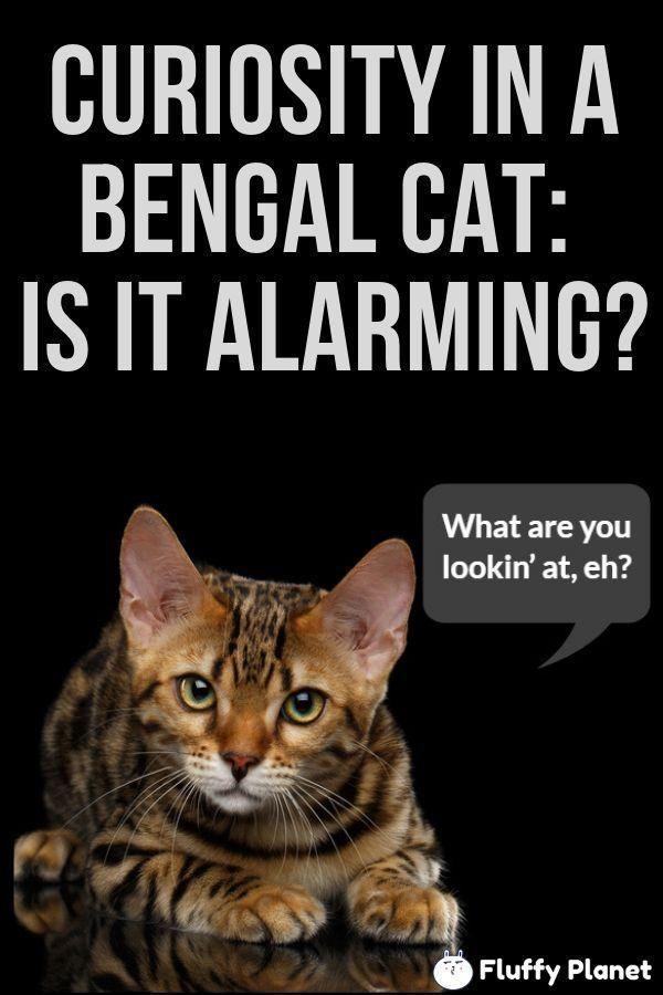 Temperament Bengal Cats Pets Cat Forbengal Cats Temperament For Pets Bengal Cat Bengal Cats Temperament For Pets Bengal Cat Bengal Cat Bengal Pets