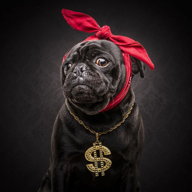 """Got asked """"Who's a good boy?""""… Told them I didn't give a fuck. #PugLife. 