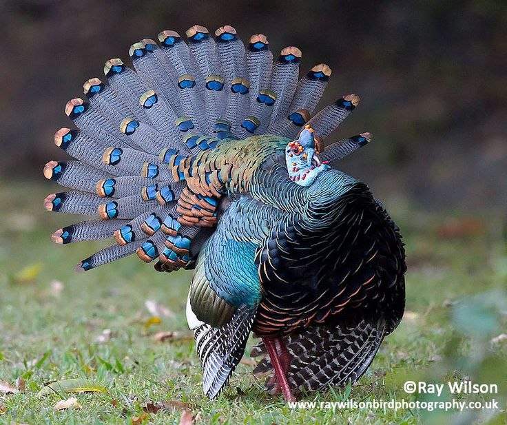 Male Ocellated Turkey displaying