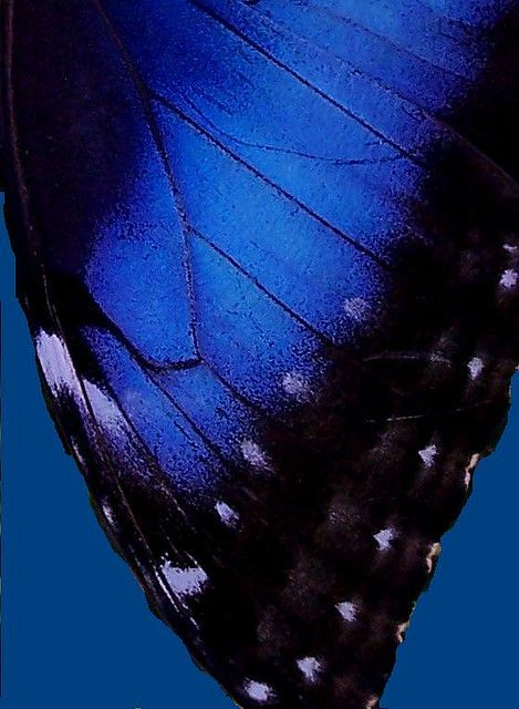 Blue Morpho Wing. The irridescent coloring is due to the scales reflect blue light.