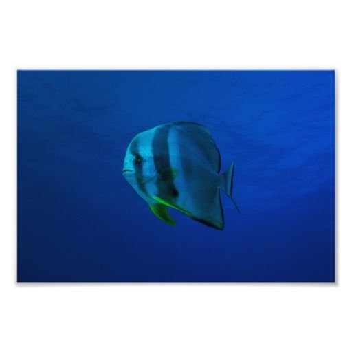 Photo print showing a batfish swimming in the crystal blue waters of the Coral Sea on Australia's Great Barrier Reef. #coral #reef #ocean #sea #diver #underwater #greatbarrierreef #coralsea #coralreef #batfish