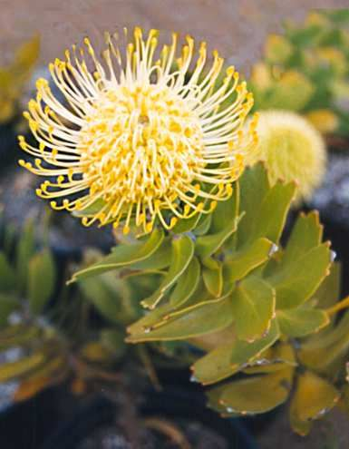 Leucospermum 'Yellow Bird' • Australian Native Plants Nursery • Plants • 800.701.6517