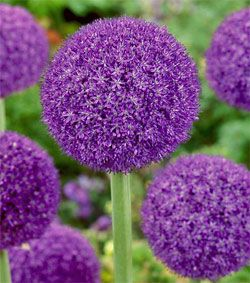 Tall Garden Flowers 495 best gardening - flowers purple images on pinterest | flower