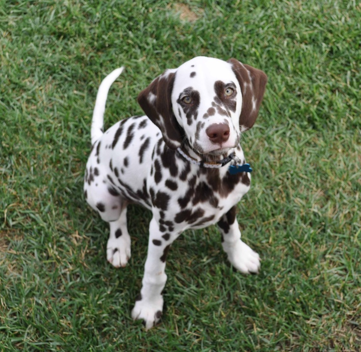 I hope my future husband understands that a liver spotted dalmatian is the only dog I will ever love :)