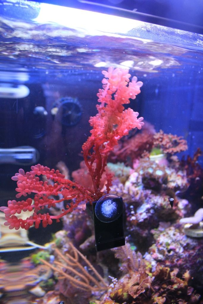 17 best images about aquatic project macroalgae on for Red algae in fish tank