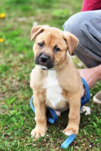 Chunk | Bullmastiff/German Shepherd Dog Mix: An adoptable ...