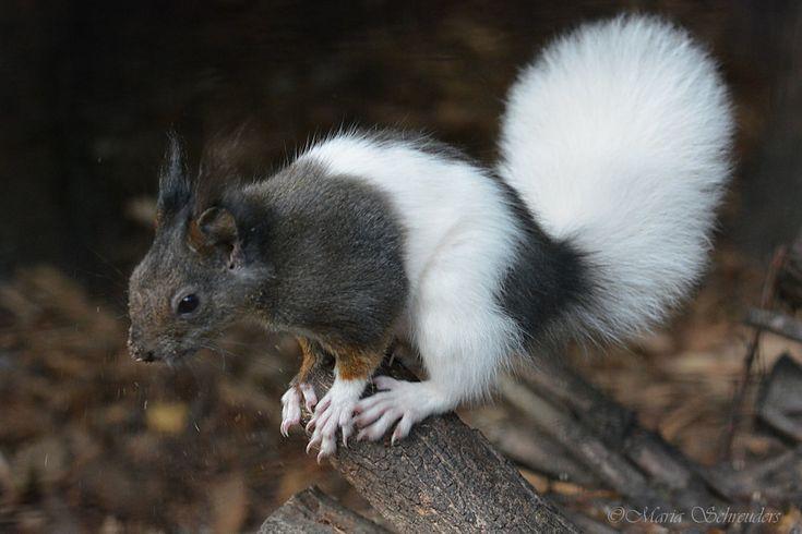japanese squirrel 4 by Maria-Schreuders