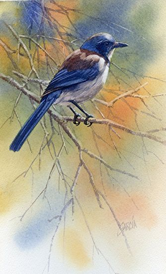 Scrub Jay by Joe Garcia Watercolor ~ 10.5 x 6.5