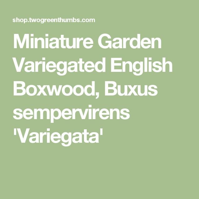 Miniature Garden Variegated English Boxwood, Buxus sempervirens 'Variegata'