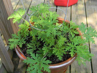 Citronella plants, Pelargonium citrosum