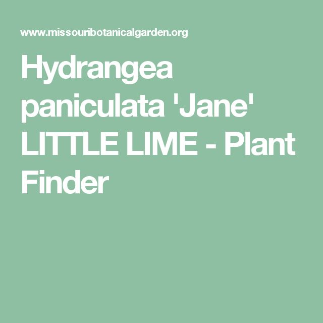 Hydrangea paniculata 'Jane' LITTLE LIME  - Plant Finder