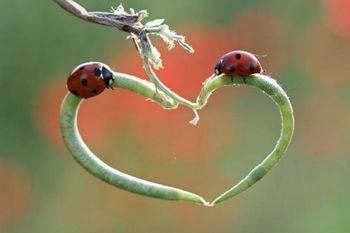 植物が形作るハート、そこに二匹の赤いテントウムシが。 結婚式によく歌われる、テントウムシの歌を思い出しました。 この二匹、だんだん近づいていくのかなぁ、と想像すると、すっごく、かわいいですね。