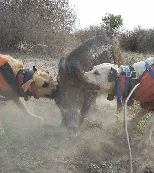 Working boar hunting dogs in Australia http://riflescopescenter.com/category/bushnell-riflescope-reviews/