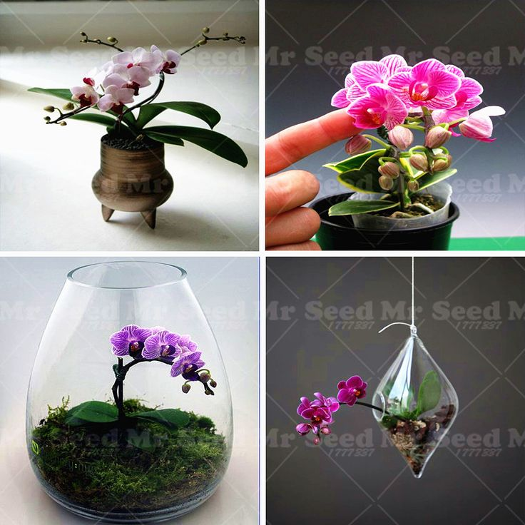 Rare Orchid Bonsai Mini Butterfly Orchid Seeds Flower seeds Beautiful Garden Phalaenopsis Orchids Seeds -100 PCS