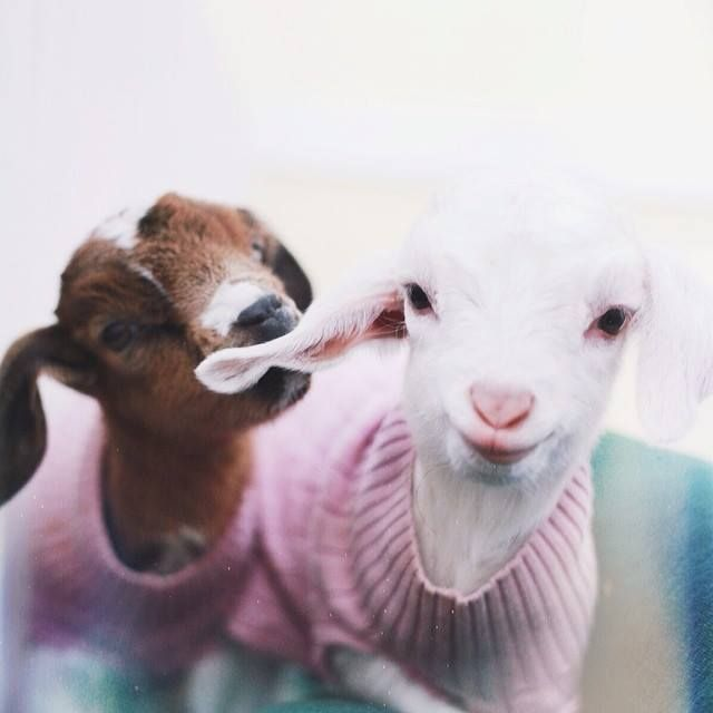 via Uma Sereia De Mel. Baby goats in sweaters and Jumpers. Brown Goat and White goat