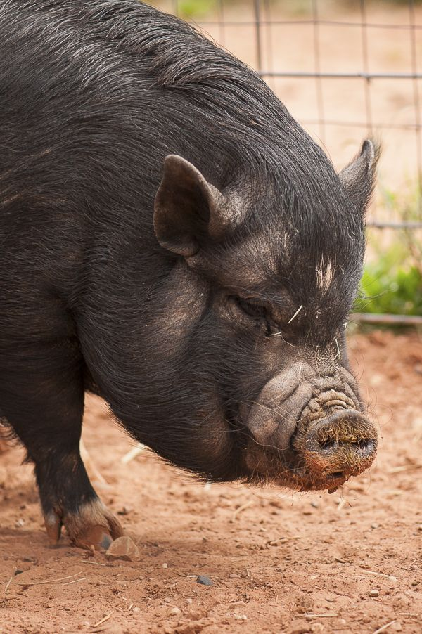 pot bellied pig up for adoption from Best Friends Animal Sanctuary, #SaveThemAll #BestFriendsAnimalSanctuary