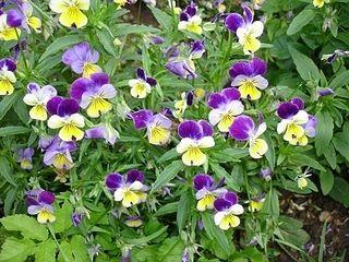 садовые цветы - сорняки  1.золотарник 2.люпин 3.душица 4.энотера 5.фиалка трехцветковая 6.кислица рожковая 7.ромашка 8.флоксы 9.сныть пестролистная 10.ландыши 11.седум испанский 12.маргаритки 13.колосняк песчаный 14.аквилегия