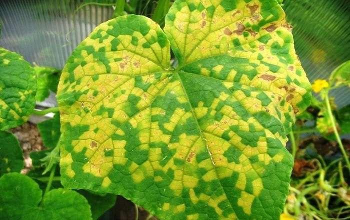 Чтобы листья огурцов не желтели