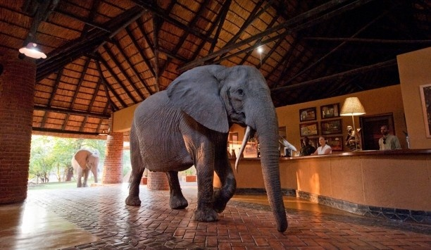 Yes, that's an elephant in the lobby. Imagine if he was in your backyard! #JSElephant: Elephants, Africans Country, Buckets Lists, Africans Safari, Zambia, Places I D, Mango Grove, Hotels Lobbies, Mfuw Lodges