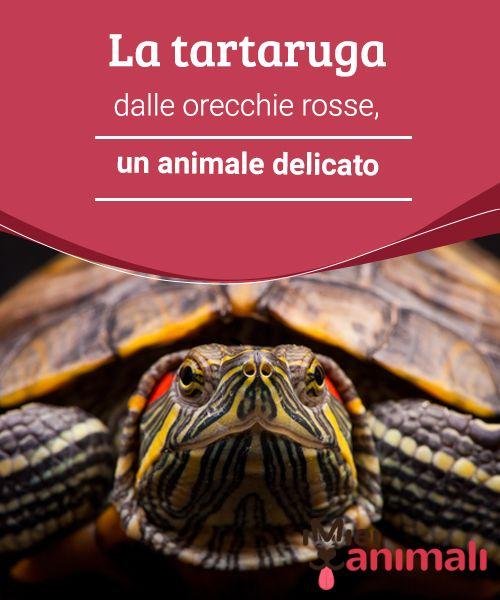 La tartaruga dalle orecchie rosse, un animale delicato  La #tartaruga dalle orecchie rosse  è una tartaruga #terrestre utilizzata comunemente come #animale da #compagnia.  #CURIOSITÀ