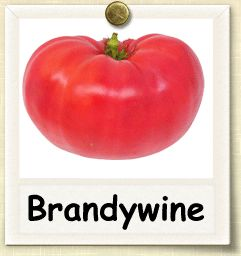 How to Grow Brandywine Tomato | Guide to Growing Brandywine Tomatoes