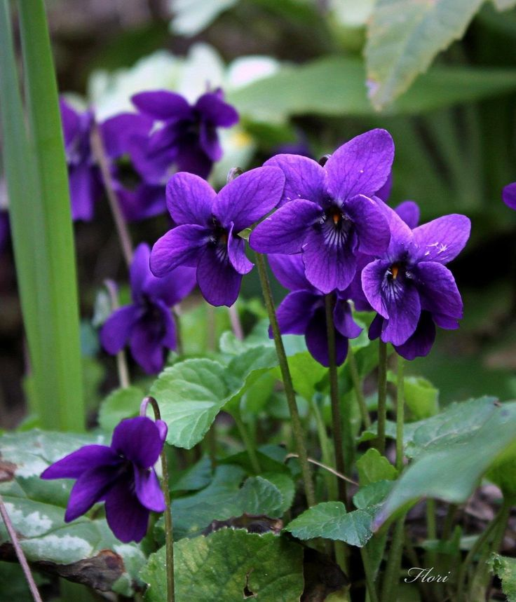 Violetas silvestres...