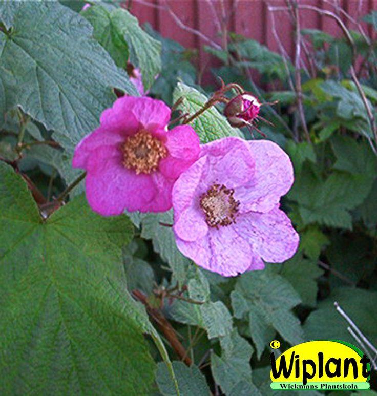 Rubus odoratur, Rosenhallon. Stora blad, rosa blommor. Tål skugga. Höjd: 1-2 m.