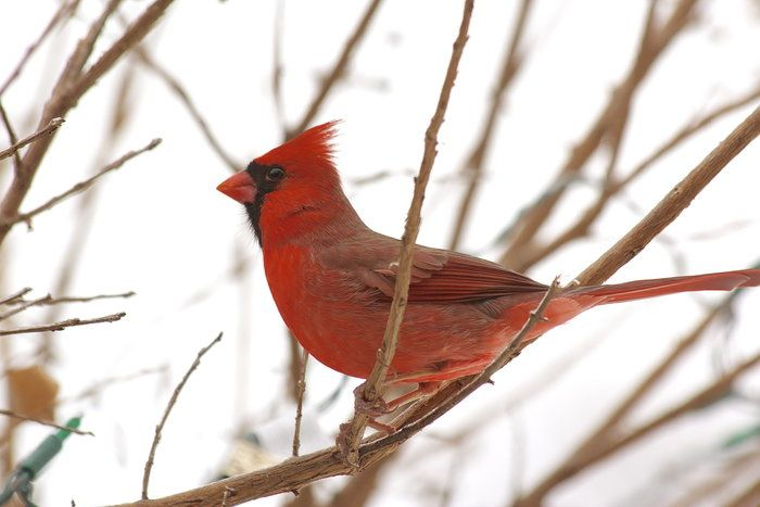 Cardinal Amateur 6