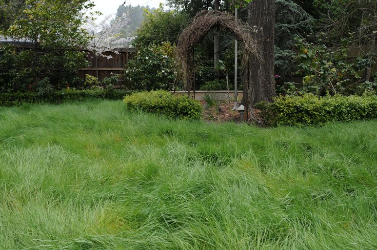 Native California bent grass is a bright green cool-season grass that withstands foot traffic and requires half the water of traditional turf. (Soils Solutions)