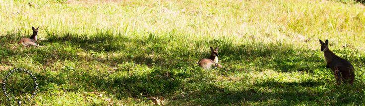 Three wallabies in the grass. #australianwildlife #wallabies