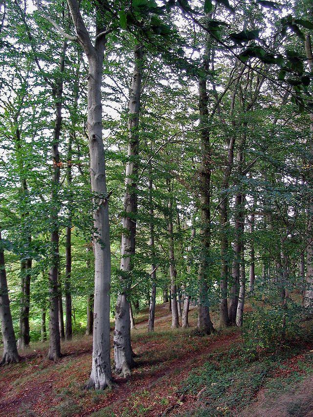 Název: Buk lesní Latin. název: Fagus sylvatica Čeleď: bukotvaré Latin. čeleď: Fagales