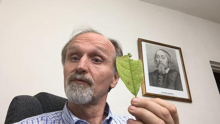 Hoja de aguacate - Avocado leaf