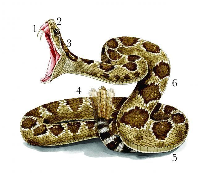 Don't Get Bit: Ultimate Snake Survival Guide | Field & Stream.  EXCELLENT information.