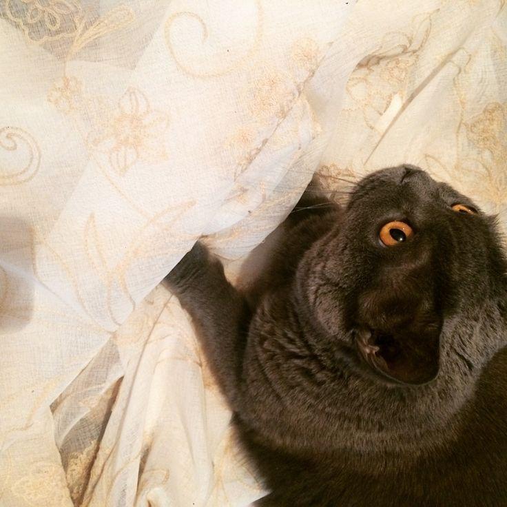 #кот Маркиз @zuevanatalia73 тестирует #тюль на прочность и антивандальность #galleria_arben #котэ #cat #ткани #кошки #юмор #fabric #шторы