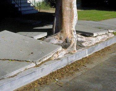 Concrete Damaged By Tree Roots Tree Roots Concrete Fix