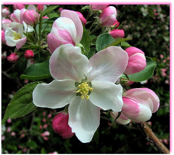 https://flic.kr/p/6rWhAx | Apple Blossoms ~ Explore 340 | Freshly opened apple blossoms from the archives