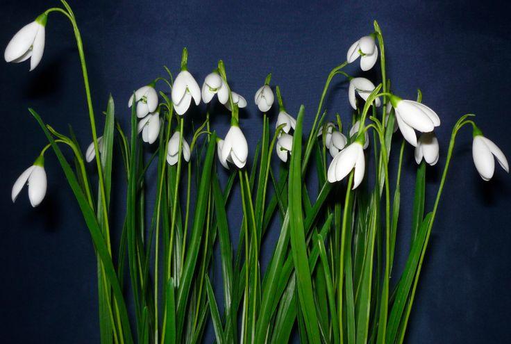 Galanthus nivalis - Hóvirág ........Clay Flowers in the Museum of Natural History - Grassalkovich Castle, Hatvan ..........Agyagvirágok a Természettudományi Múzeumban - Grassalkovich Kastély, Hatvan