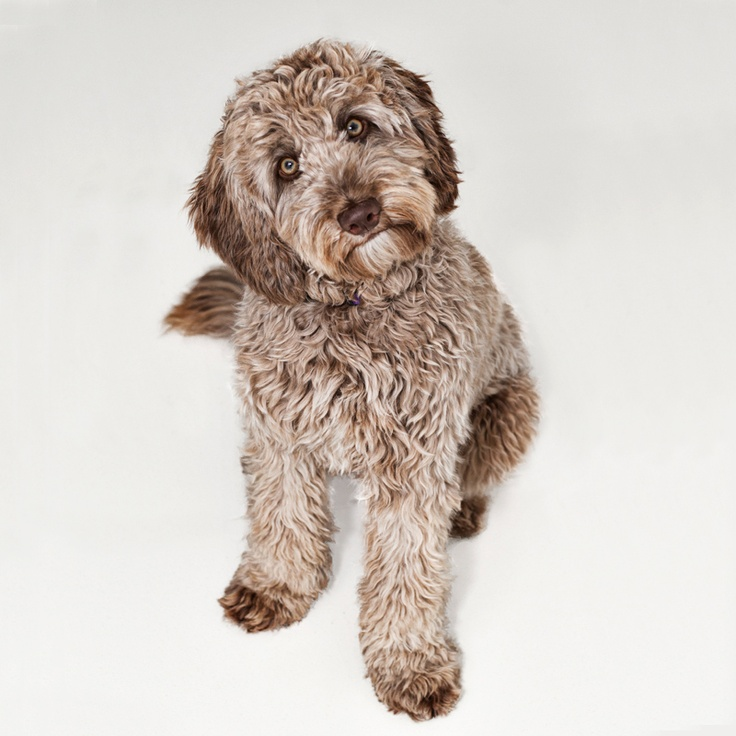 labradoodle labrador retriever and poodle mix - 736×736