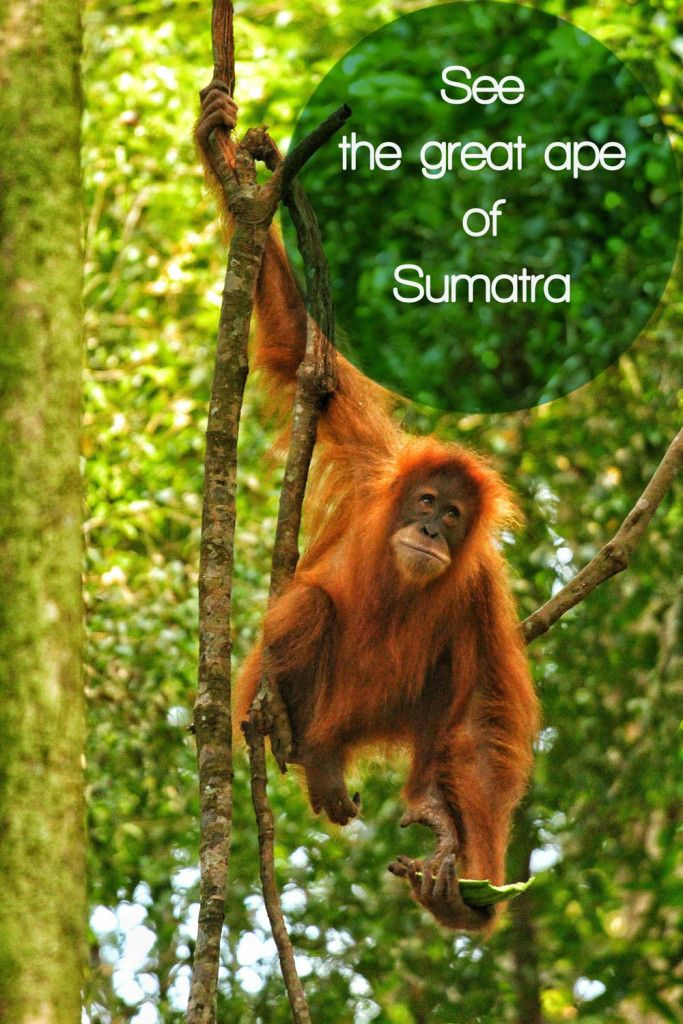Visit the Orangutans of Sumatra, Indonesia. #indonesia #orangutan #sumatra #wildlife #animal #ape #monkey