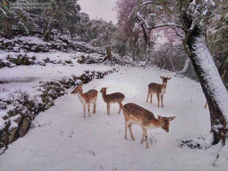 Λεπέτυμνος: ελάφια σε λευκό τοπίο (φωτογραφίες) | lesvosnews.net