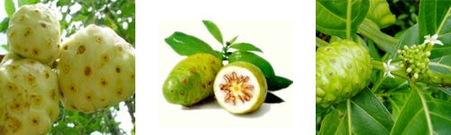The discovery of noni fruit is credited to a group of medicine men searching for plants that had healing and medicinal properties by Polynesian legend. The noni fruit, or Morinda citrifolia, can be found growing in the Pacific Islands, Tahitian Ring of Islands in the South Pacific, the Caribbean and parts of Asia. It has been used for centuries by the Polynesians to treat a variety of health... FULL ARTICLE…